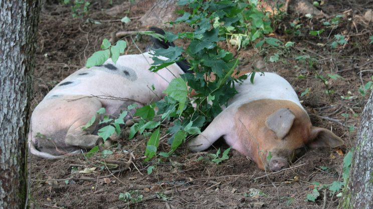 Pasture Raised Pigs and DIY Automatic