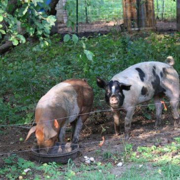 pigs on pasture raised