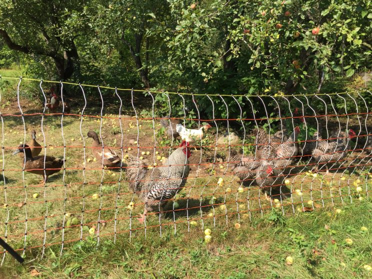 New Yolk city with the Barred rock chickens