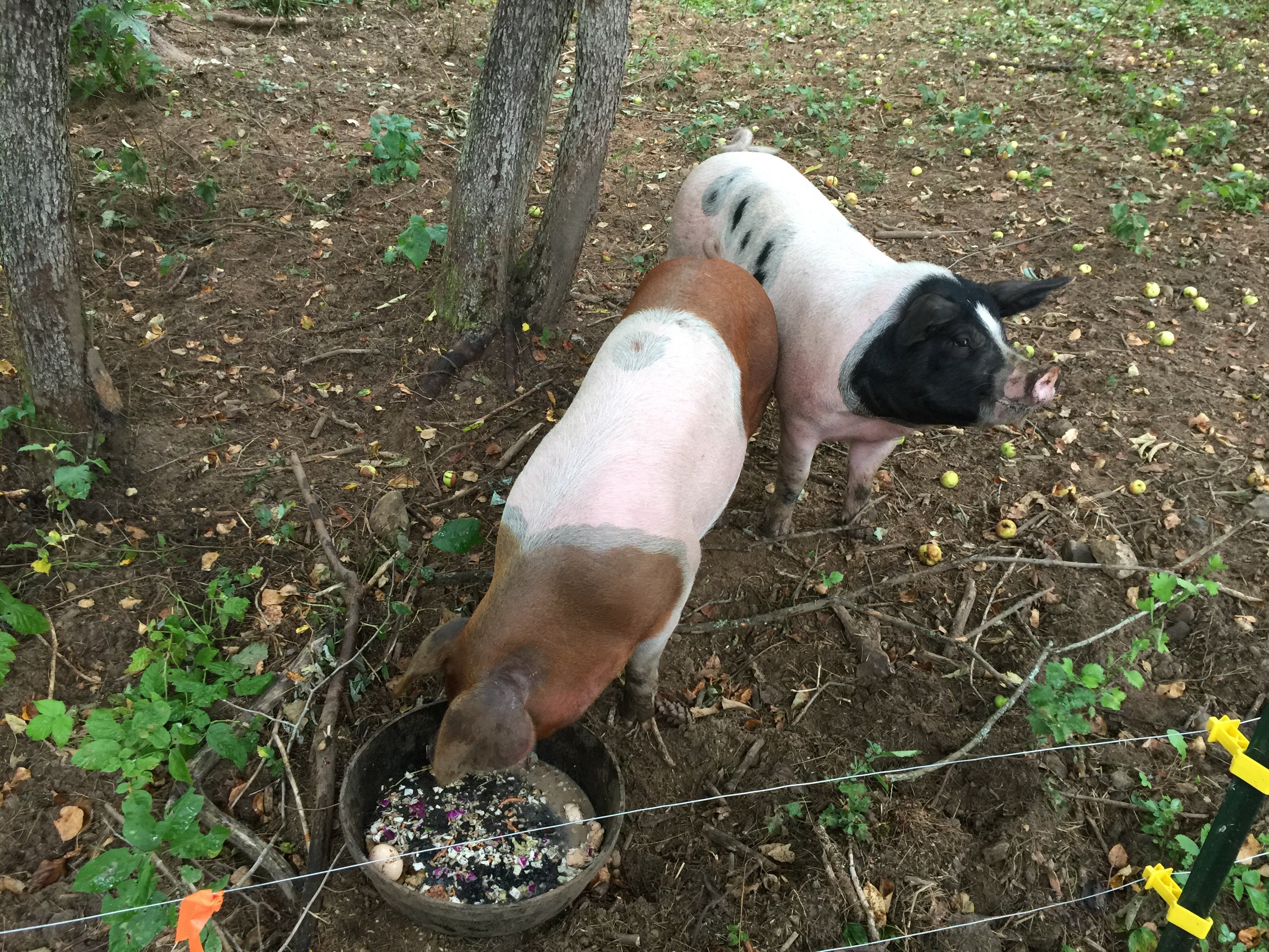 Pig Harvesting & Why we Raise our Own Pigs For Pasture Raised Bacon and so much more
