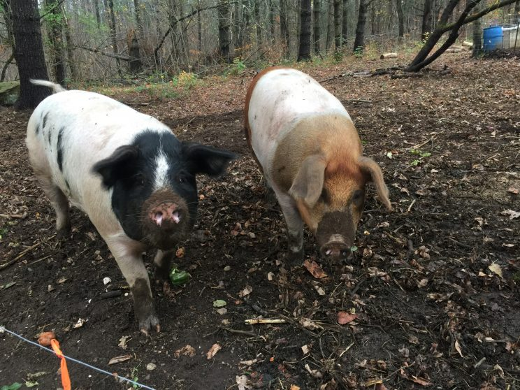 Our Pigs we have been raising