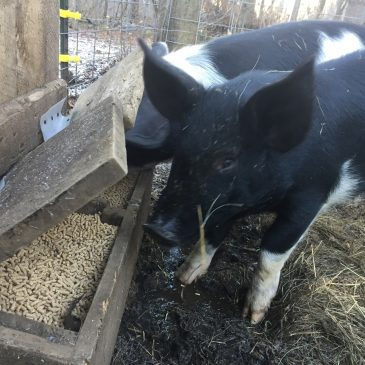 Our Pigs Eating Grain